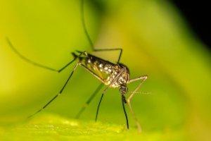 הדברת יתושים