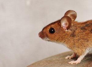 טיפים ללכידת עכברים בדרך הקלה ביותר