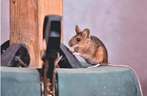 גיליתם עכבר בבית