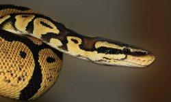 מדריך זיהוי נחשים: איך נדע עם הנחש ארסי?