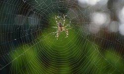 הדברת עכבישים